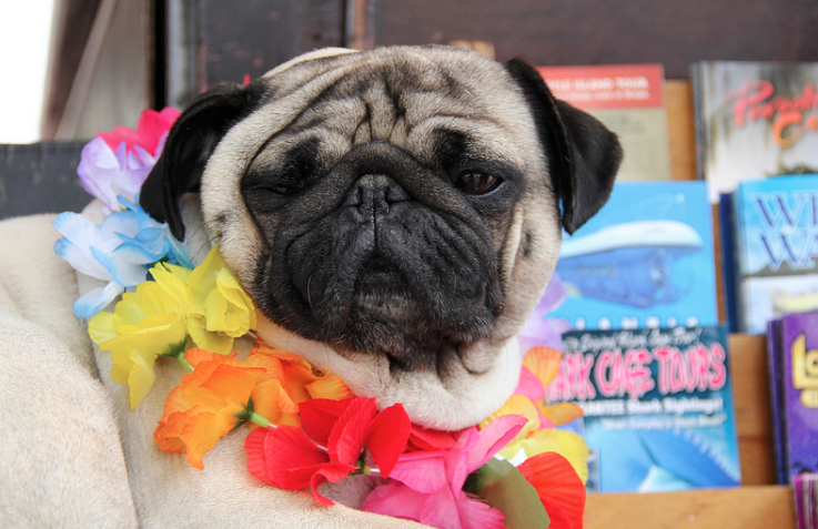 A pug wearing a lei: comedy from Ashley Kalagian Blunt