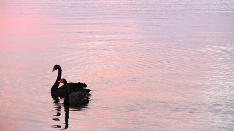 Swans, Canberra Australia