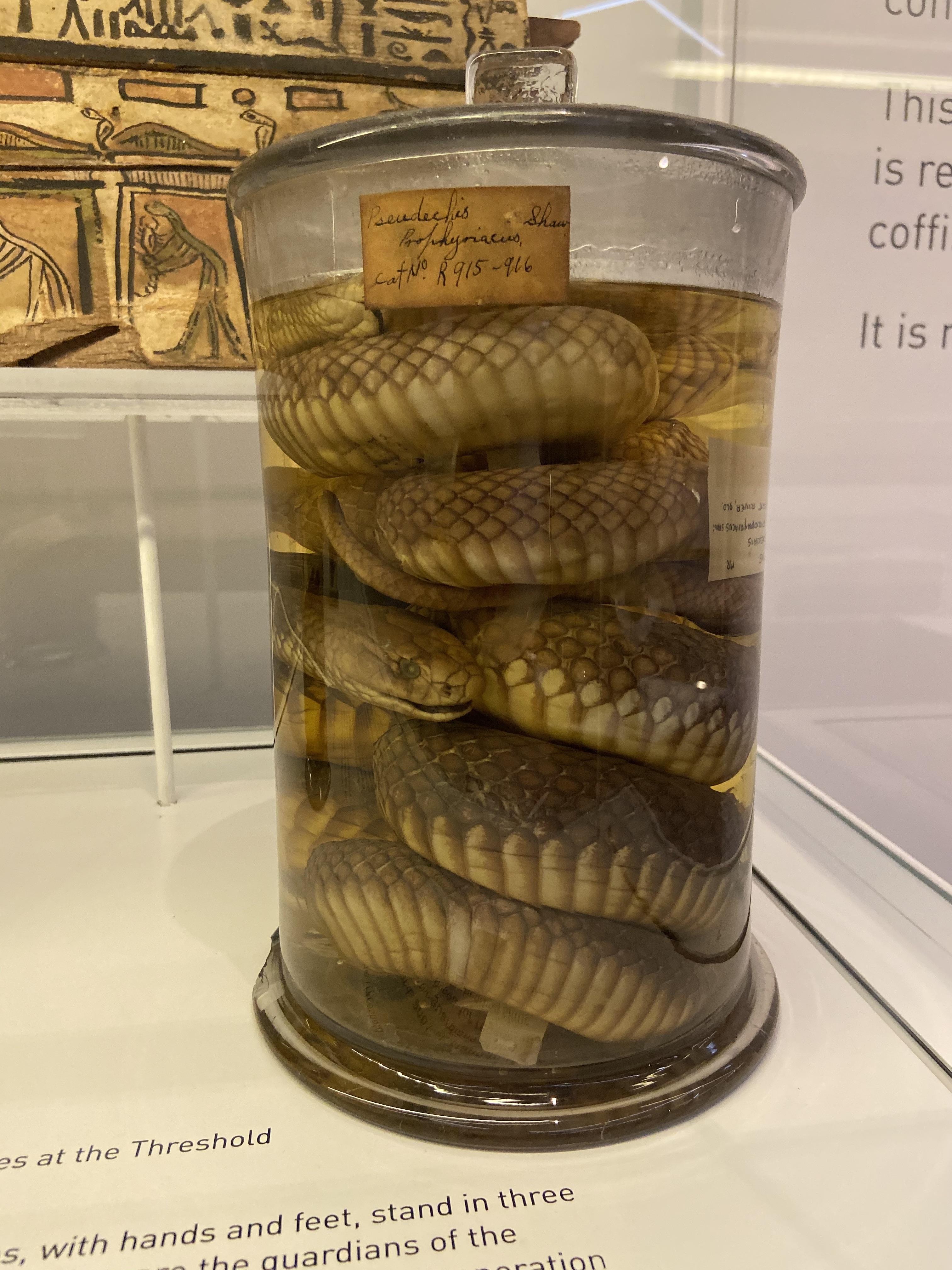Snakes in a jar, Nicholson Museum, Sydney.jpg