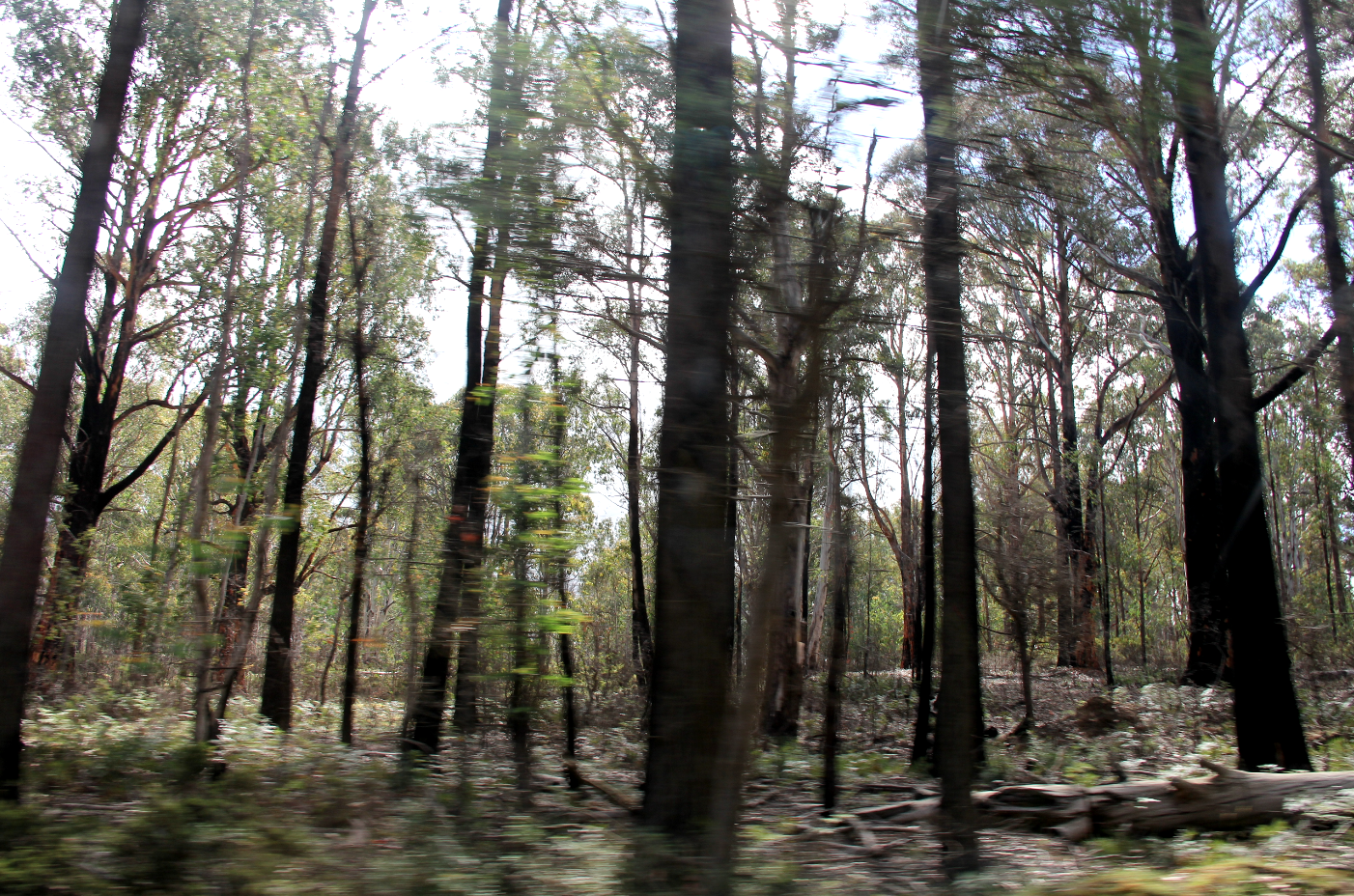 Forest of trees, blurred